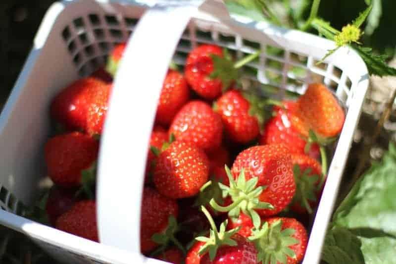 Basket of fresh picked berries