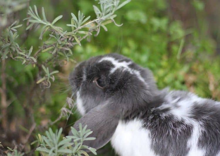 Rabbit eating in a garden